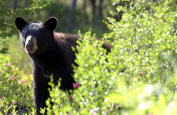 Black bears on Grand Island were approaching campers and raiding tents looking for food. Photo: Wikimedia Commons.