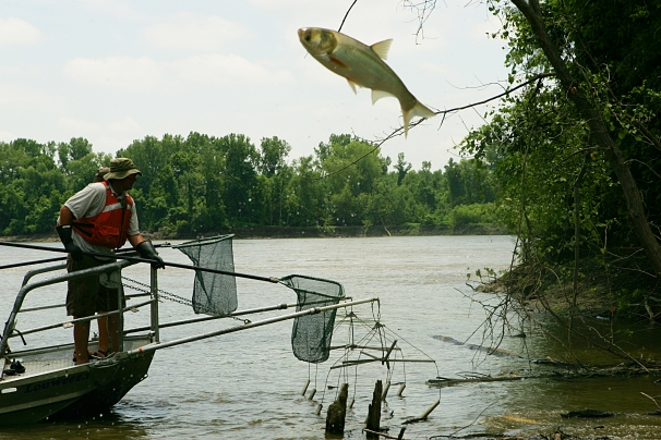 At Big Muddy National Fish & Wildlife Refuge in Missouri, an invasive Asian carp leaps high out of the water to escape biologists' nets. (Steve Hillebrand/USFWS)