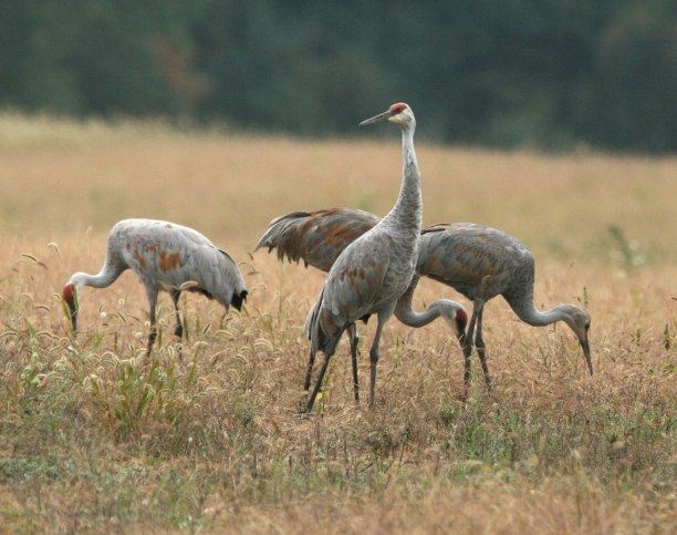 Cranes feeding in a fallow field. Photo: Tom Hodgson