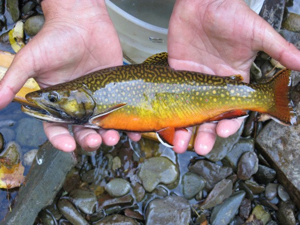 This 13-inch coaster brook trout was found in one of the experimental rivers while conducting surveys. Photo: Troy Zorn, Michigan DNR.