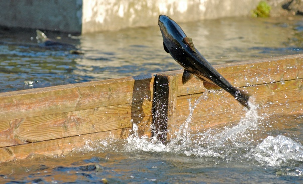 A chinook salmon attempts to jump the raceway divider at the Little Manistee River egg-collection facility. Photo: Howard Meyerson