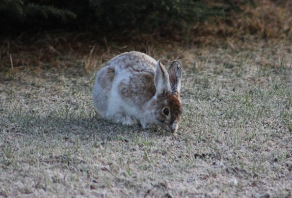 Snowshoe hares change colors from brown to white in winter to provide concealment. Photo: Dr. Gary Roloff