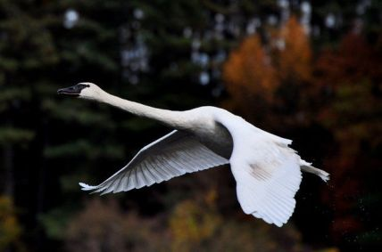 Trumpeter Swan courtesy of Bill Krasean