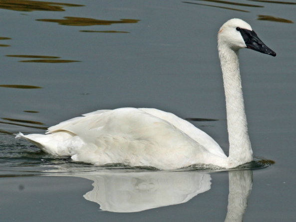 The Trumpeter Swan is one of several species that have been aided by Michigan's Nongame Wildlife Program. Photo: Dick Daniels, Wikimedia Commons.