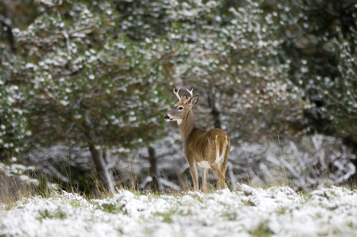 Michigan Firearm Deer Season Fewer Hunters Fewer Deer