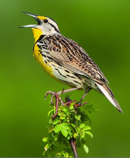 An Eastern Meadowlark. Photo by: Daniel Behem.