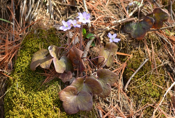 Hepaticas like these are among the many spring blooms found at Aman and other Grand Rapids area parks. Photo: Howard Meyerson