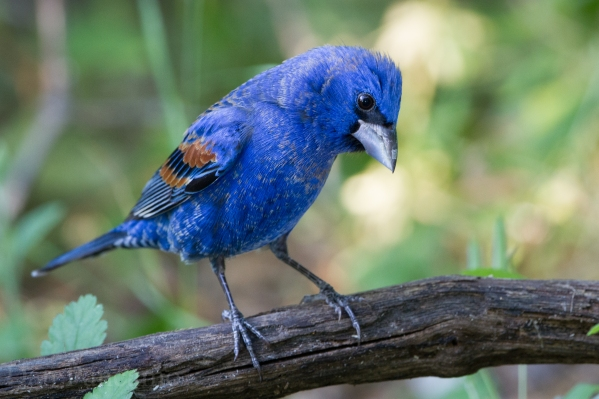 Blue Grosbeak's like this one are typically southern birds, but they are showing up more frequently in Michigan. Photo: Dan Pancamo