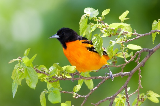 Baltimore Orioles will move  northwards but still be found in Michigan. Photo: William Norton