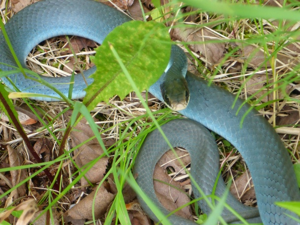 The Blue Racer is a fast, curious and non-venomous snake found in Michigan. snake  Photo: Howard Meyerson.