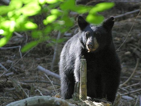 Black Bears roam northern Michigan woods. Photo: Wikimedia  Commons