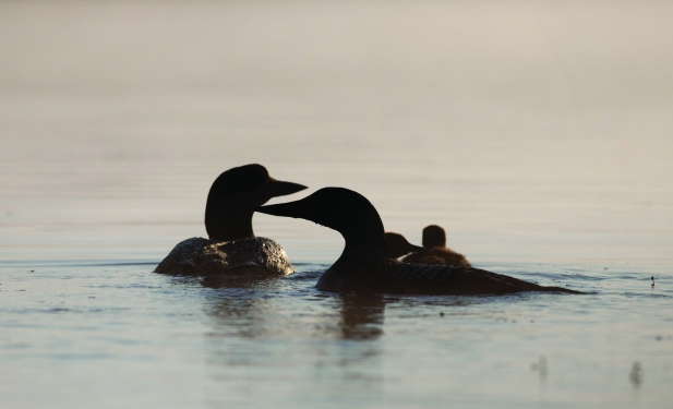 A family of loons. Photo courtesy of William Norton.