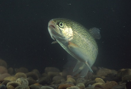 Hatchery steelhead raised in open water pens did not do as well as those released directly to the lake. Photo: USDA.