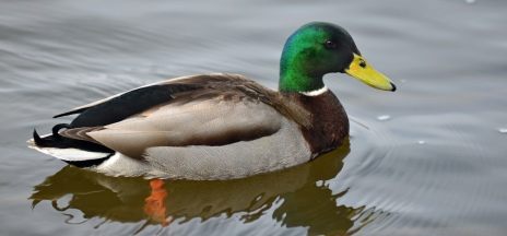Mallards are the number one duck found in Michigan waterfowl hunter's bags. Photo: Howard Meyerson