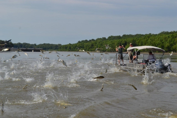 Silver carp jumping as a boat goes by. Photo: Asian Carp Regional Coordinating Comittee.