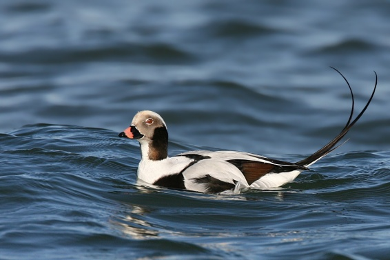 Long-tailed Duck populations are in trouble in some parts of the world. Photo by Wolfgang Wander, Wikimedia Commons.