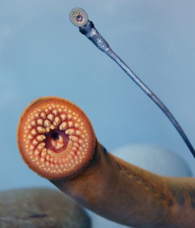 Back to back annual lampricide treatments are knocking down populations of young lamprey/. Source: 	T. Lawrence, GLFC