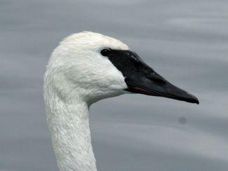 1195px-Trumpeter_Swan_(Cygnus_buccinator)_RWD2