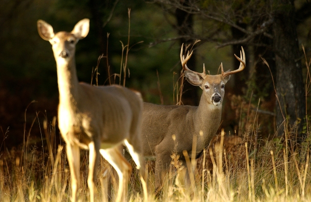 Michigan Department of Natural Resources officials say the upcoming firearm deer season will require more planning and scouting by hunters if they plan to bag a big one. DNR officials say the acorn crop is spotty and deer will be on the move, meaning hunters can't rely on the usual hunting spots. Photo courtesy of the Michigan Department of Natural Resources)