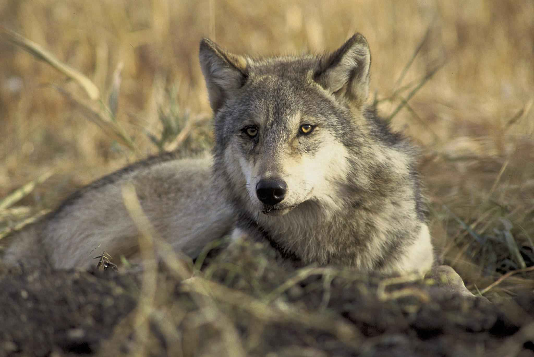 hunting and wolves Montana sold over 6,000 wolf-hunting licenses this season each license -- $19 for state residents-- allows a person to kill up to five wolves the current wolf population in montana is estimated.