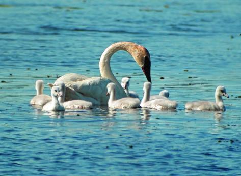 TrumpeterSwans(Cory Gildersleeve)