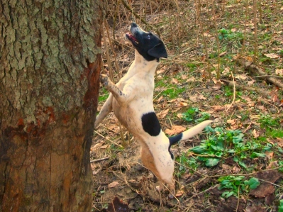 Unknown_dog_breed_treeing - wikimedia commons