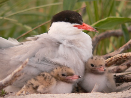 Common_tern_and_chicks USFWS