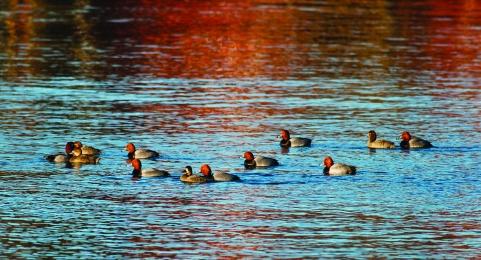 Redheaded Ducks by Skye Haas