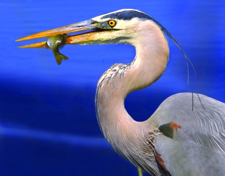 Great Blue Heron (Andrea Westmoreland)