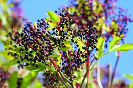 elderberry-432610_1280-1